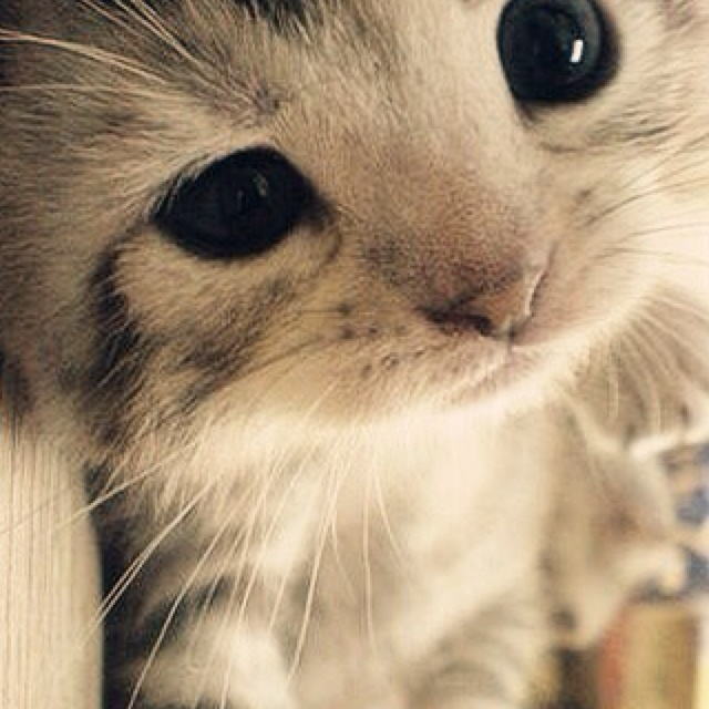 little #catKitty Cats, Cute Cats, Big Eyes, Cute Kitty, Baby Kittens, My Heart, Cute Babies, Cute Kittens, Baby Cat