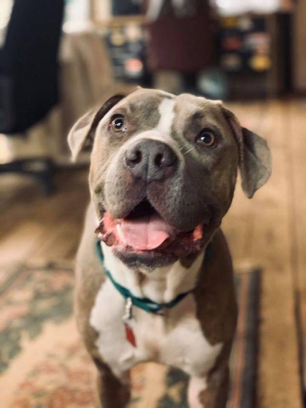 Bulloxer dog for Adoption in Norfolk, VA. ADN425961 on