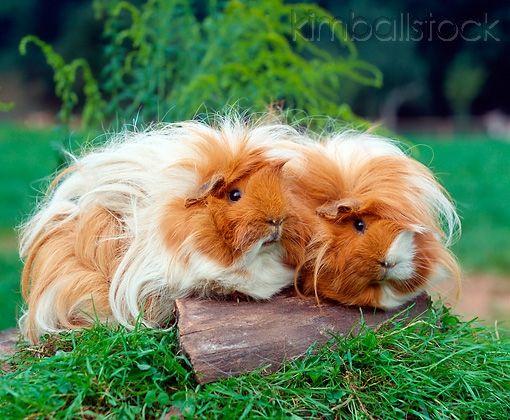 angora guinea pigs