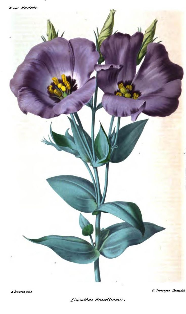 Lisianthus Russellianus. Plate from 'Revue Horticole'