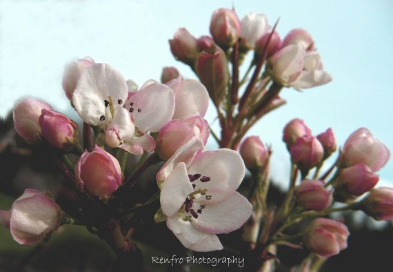 Apple Blossoms  Fine Art Print  Floral Photography  Pink by renfro (Art & Collectibles, Photography, color, fine art, print, photograph, gift, pink, flowers, apple blossoms, romantic, cottage chic, country, soft, blush)