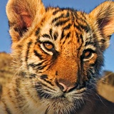 WWF Adopt a Tiger (or Orangutan or Snow Leopard...). Help endangered animals and get a wee fluffy Tiger for the little ones.
