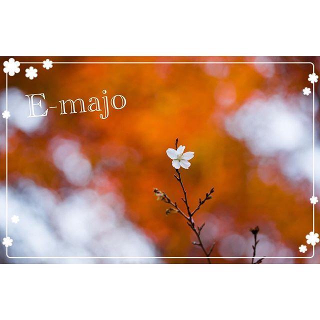 【e.majo_】さんのInstagramをピンしています。 《おはようございます。  久しぶりの投稿になります😊  日に日に秋が深まり朝晩は寒くなってきましたね☘️' 写真はイーマジョspiritualカメラマンのシロクマさんが撮影した冬桜と紅葉です🍁 小さな桜ですが冬に見られるなんて素敵ですよね☺️, 寒暖差が大きくなってきてます、皆様も風邪を引かないように気をつけてくださいね☝️️🌈 イーマジョはいつも通り朝10時より営業しております💫' お近くにお寄りの際にはお気軽にお越しくださいませ😊, 電話占い、電話鑑定も通常通り営業しておりますのでお電話お待ちしております😊☺️🌈, 0120-568-698🌈, お気軽にお電話ください☘ ****************************イーマジョのホームページアドレスはこちらです☘ www.e-majo.com. ☘  検索はイーマジョ😊☘ *************************, #e-majo #占い #電話占い  #イーマジョ #西洋占星術 #タロット占い #霊感占い #手相占い…