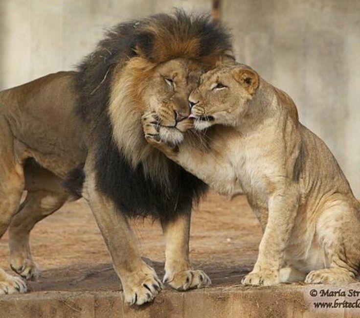 картинки львиные пары
