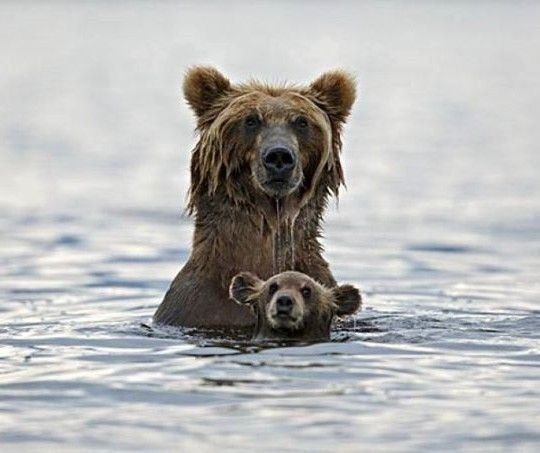 Momma bear swimming with her cub