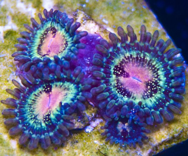 JJ's Bloodshot Palys - K22, My Reef to Yours - Live Coral Frags