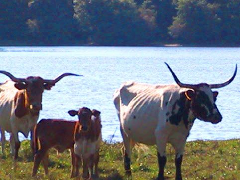 Some cool cows that have lake view