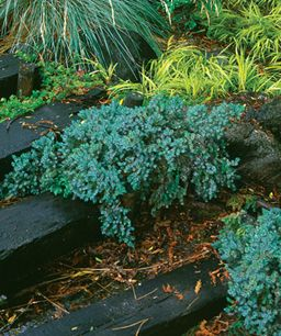 """Blue Star Juniper; full to partial shade, 16"""" high and will eventually get to 3' across (but very slow growing). Beautiful year-round color!"""