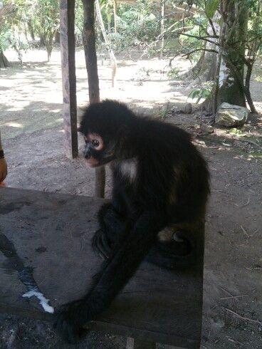 Un amiguito (mono saraguato)