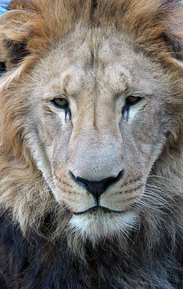 Sad Lion, not zoos, Lujan
