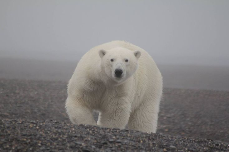The Wrangel Island Nature Reserve (Arctic Ocean bn Chukch Seai & East Siberian Sea) is known as one of polar bears' main maternity wards.