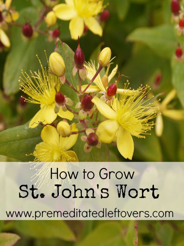 How to Grow St. John's Wort- St. John's Wort is commonly used for herbal remedies and has beautiful blooms. Growing your own is easy with these useful tips.: