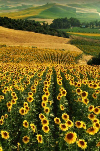 Zonnebloemvelden in Andalusië