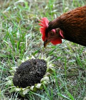 Learn about the benefits of feeding sunflower seeds to Homestead egg laying hens...  http://www.homesteadingfreedom.com/benefits-of-feeding-sunflower-seeds-to-egg-laying-hens/