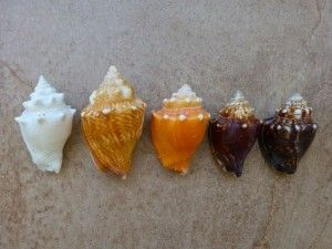 florida fighting conch colors