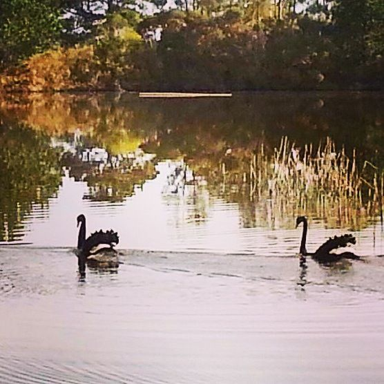 Swan lake!!!  www.stillwateratcrittenden.com.au