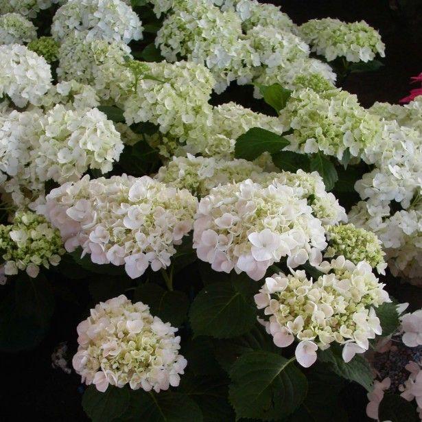 Hydrangea Macrophylla Wedding Gown: 17 Best Images About Hydrangea