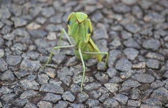 2013/04 (Hluhluwe Game Reserve) - wwalford Photography. - praying mantis