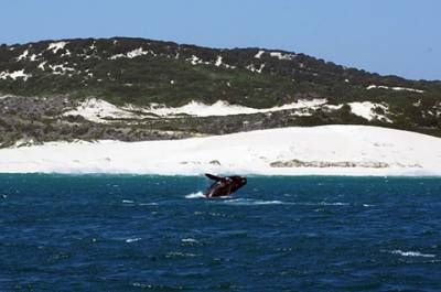 Die beste Reisezeit für einen Ausflug zur Walbeobachtung nach Hermanus sind die Monate Juli bis November. In diesem Zeitraum kommen die Wale Southern Right Whales aus dem Süden, um an der Küste vor Südafrika den Nachwuchs zu bekommen.