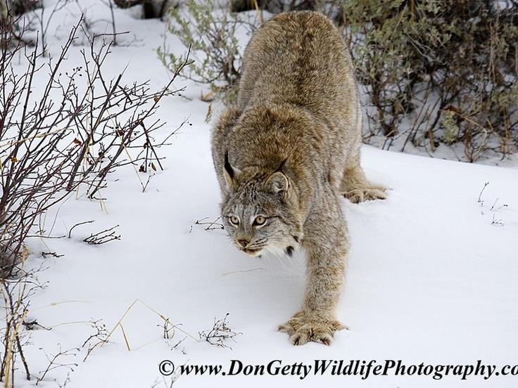 The Canadian Lynx