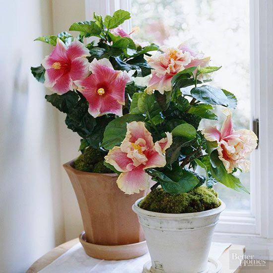 17 best ideas about jasmine plant indoor on pinterest. Black Bedroom Furniture Sets. Home Design Ideas