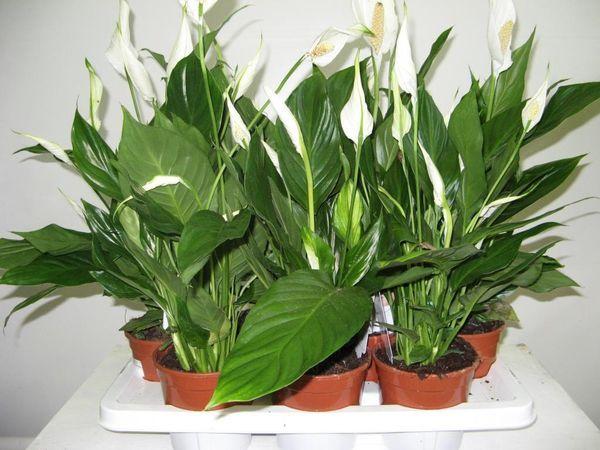 Спатифиллум Очень красивое растение с крупными цветами и листьями. Спатифиллум способен не только очищать воздух, но еще и увлажнять его. Не слишком трудоемок в уходе. В народе называется «счастливым цветком» или «цветком счастья», поэтому часто приглашается в детскую  для поддержания атмосферы любви и счастья.