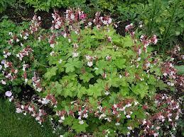 geranium macrorrhizum album - Google Search
