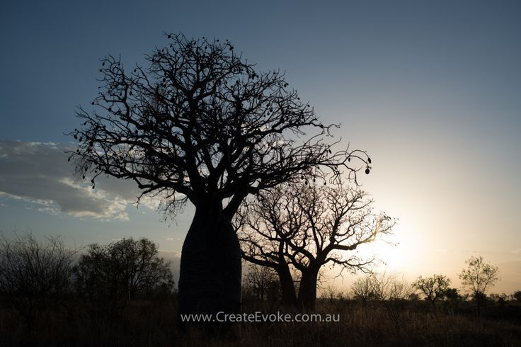 Boab trees down Valentines Rd, Kununurra - Kimberley, Western Australia