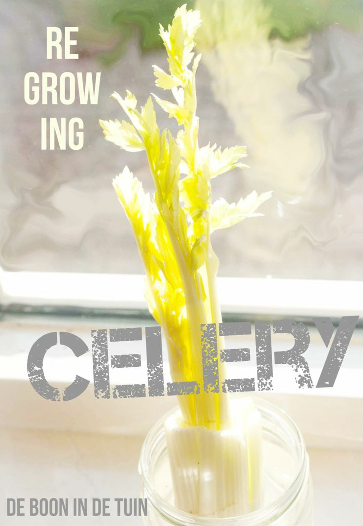 Regrow celery. Regrowing celery reuse celery. Selderij opnieuw laten groeien. Meer op: http://deboon.blogspot.nl