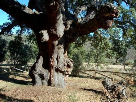 El Alcornoque de la Fresneda es uno de los ejemplares de mayor tamaño y edad de Extremadura. Inmenso y espectacular, aún se conserva bastante sano, esperemos que por mucho tiempo.