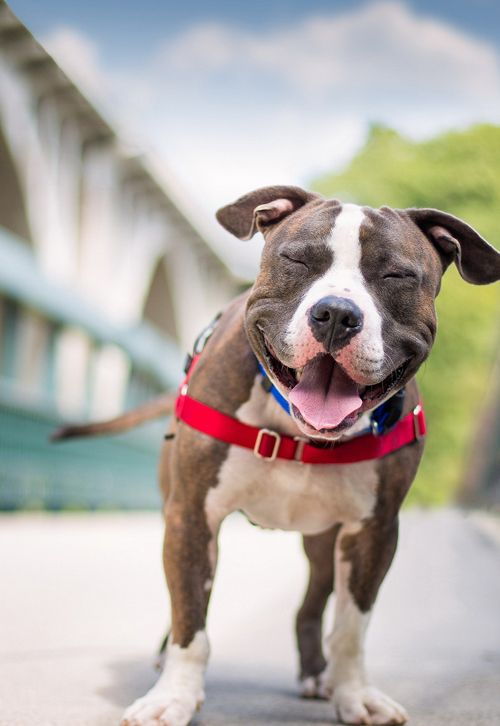 The smile of a pit bull. Get's me every time!