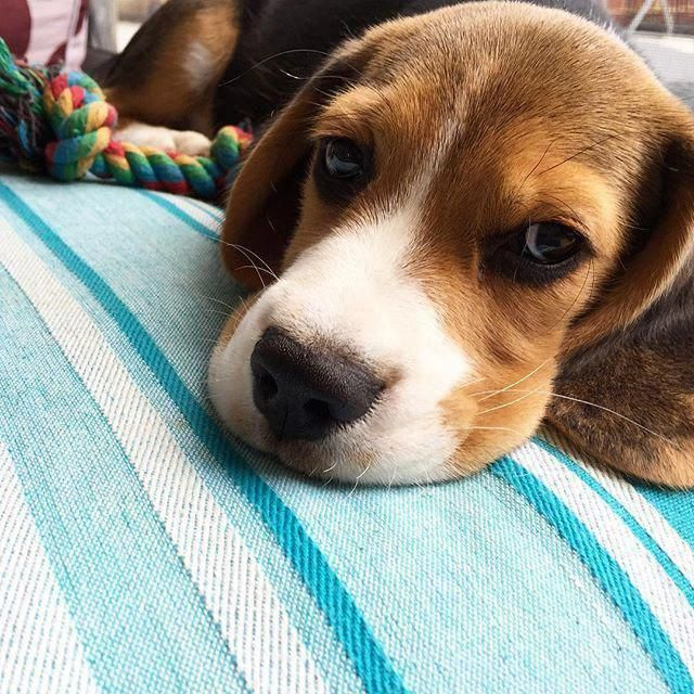 Check Out Our Website For Additional Information On Beagles It