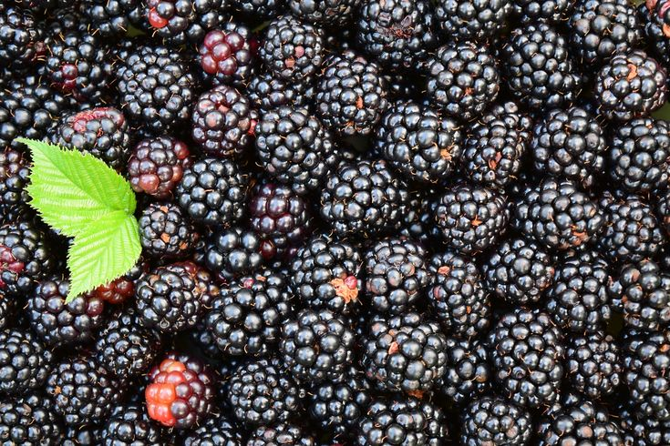 Blackberry Picking: A Poem and 15 Delicious Blackberry Recipes
