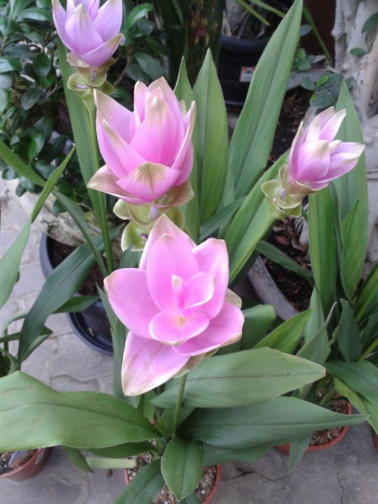 Kurkuma a virágcCurcuma rhabotaserépben, a tányéron és a kapszulában. A kurkuma nemzetség legizgalmasabb növényei keresett fűszer- és festőnövények. Sokuk dísznövény. http://kertlap.hu/kurkuma/