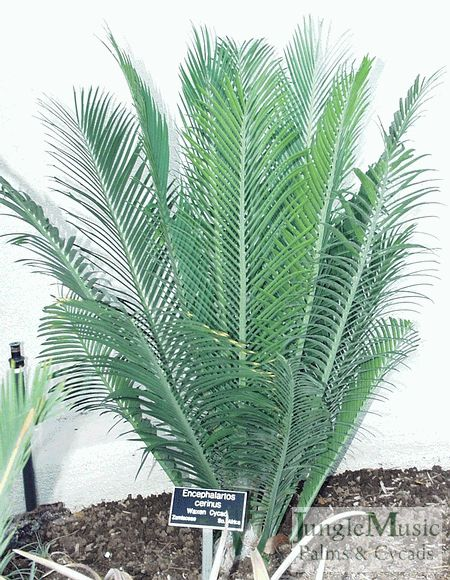 Encephalartos cerinus. This a very nice dwarf Encephalartos (it does not make above ground trunk). It looks almost like a bonsai palm and produces a thick waxy coat on its leafs. It is a medium grower and does well in many climates.