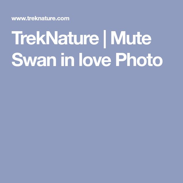 TrekNature | Mute Swan in love Photo