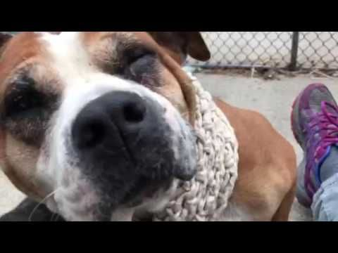 SAFE❤️❤️ 1/5/17 BY PUPSTARZ RESCUE❤️ THANK YOU SO MUCH❤️❤️ Manhattan center TYRA – A1100723 FEMALE, BROWN / WHITE, AM PIT BULL TER / BOXER, 6 yrs STRAY – STRAY WAIT, NO HOLD Reason STRAY Intake condition UNSPECIFIE Intake Date 12/29/2016, From NY 10468, DueOut Date 01/01/2017,