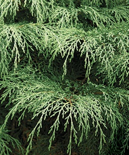 Siberian cypressGardens Ideas, Conifer Ideas, Dig Dirt, Cypress Trapp, Conifer Gardens, Outdoor Retreat, Golden Cypress, Gardens Conifer, Planets Earth