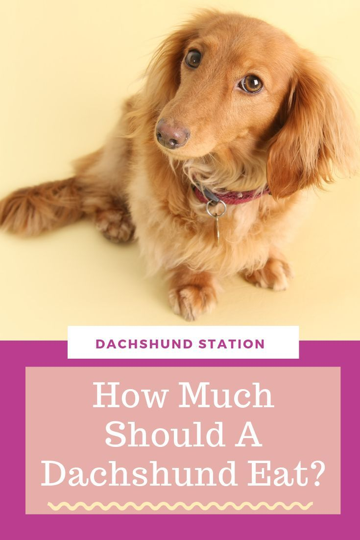 3 Easy Ways To Keep Your Dachshund Healthy Love Dogs Pin Here