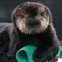 19 Best Images About Otters On Pinterest This Morning