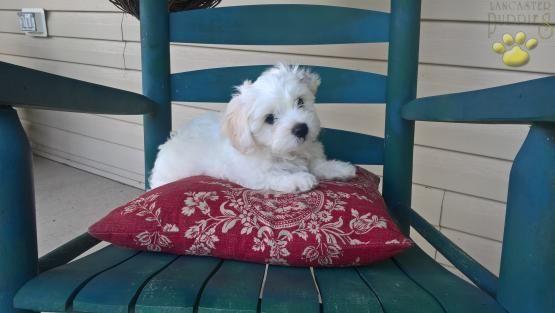 Bingo - Male Shichon Puppy