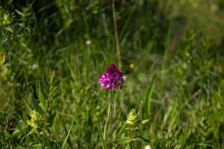 EN - The #pyramidal #orchid, #Anacamptis #pyramidalis, is a #perennial #herbaceous #plant belonging to the #Genus #Anacamptis of the family #Orchidaceae. -------------------------------------------- FR - La #Pyramidale, L' #Orchis #pyramidal (Anacamptis pyramidalis) est une orchidée terrestre européenne.