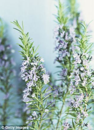 Why a whiff of rosemary DOES help you remember: Sniffing the herb can increase memory by 75% -  Research has found the essential oil from rosemary helps long-term memory