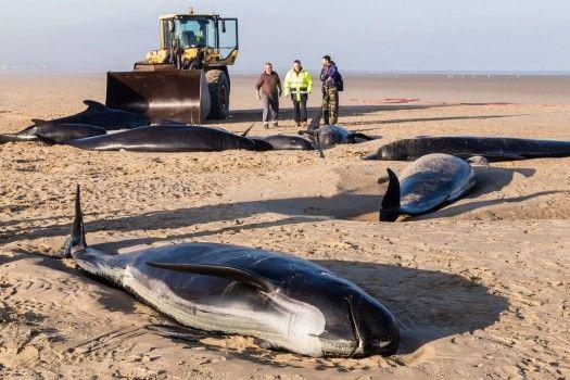 Quanta pena .. Un tragico destino: uan famiglia intera di balene pilota si è spiaggiata sulle coste francesi, vicino Calais. Nonostante gli sforzi delle autorità e delle associazioni in difesa degli animali, soltanto tre degli animali hanno potuto essere rimessi in acqua vivi. Gli altri sono morti sulla spiaggia fra atroci sofferenze.