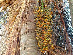 Palmeira Jerivá -Cacho coquinhos