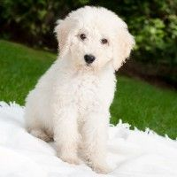 #dogalize Dog Breeds: Labradoodle, temperament and personality #dogs #cats #pets