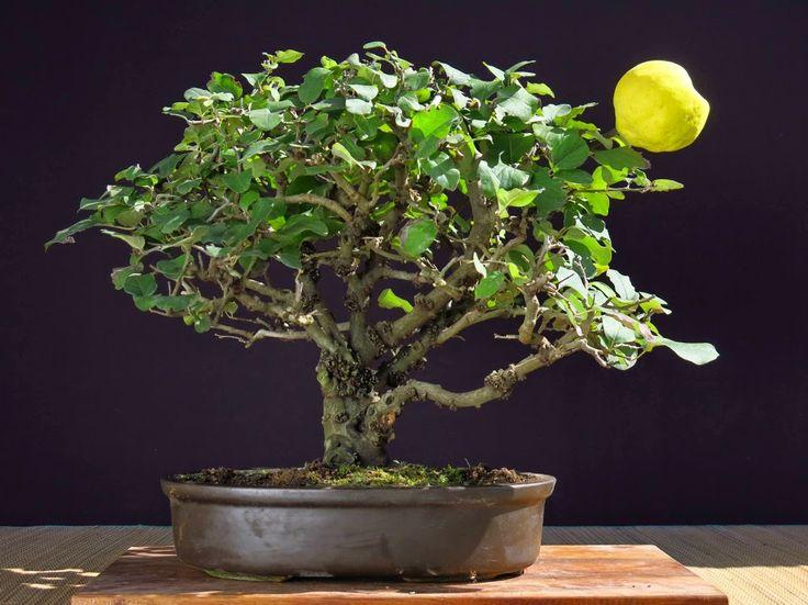 The 25 best bonsai fruit tree ideas on pinterest bonsai for Indoor gardening near me