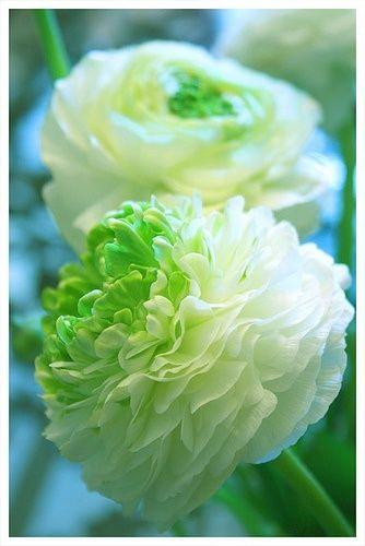 flowersgardenlove: Ranunculus Flowers Garden...