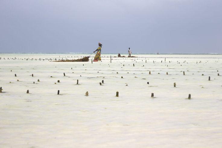 IB TREBBIEN – Seaweed Harvest 2