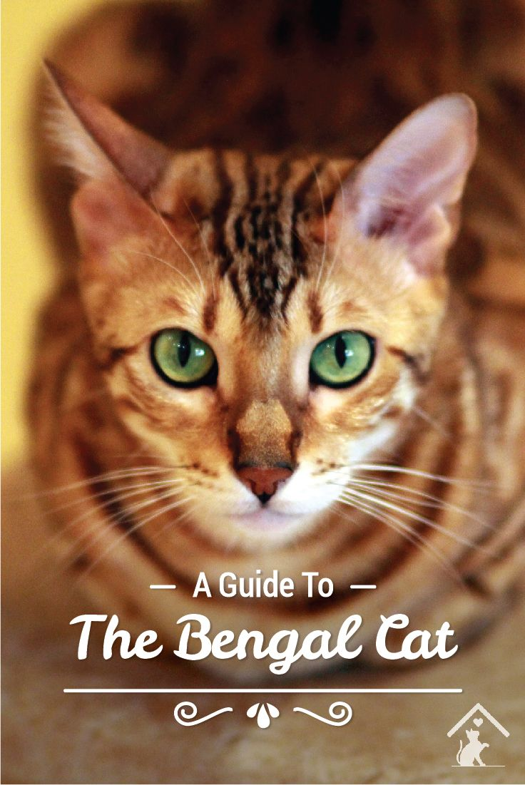 Bengal cats are adventurous and affectionate! Click the pin to read our guide. #bengal #bengalkittens #bengalcats